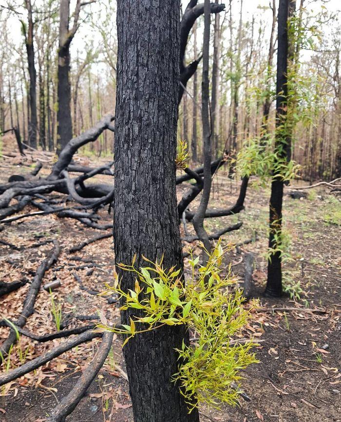 A vida está retornando à terra destruída pelos incêndios na Austrália (35 fotos) 19