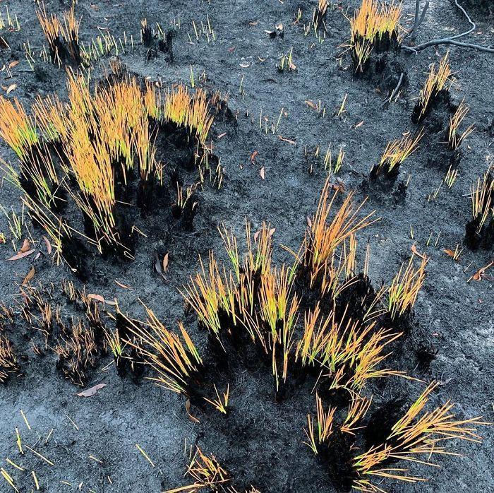 A vida está retornando à terra destruída pelos incêndios na Austrália (35 fotos) 20