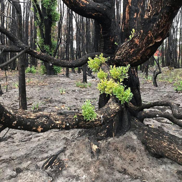 A vida está retornando à terra destruída pelos incêndios na Austrália (35 fotos) 21