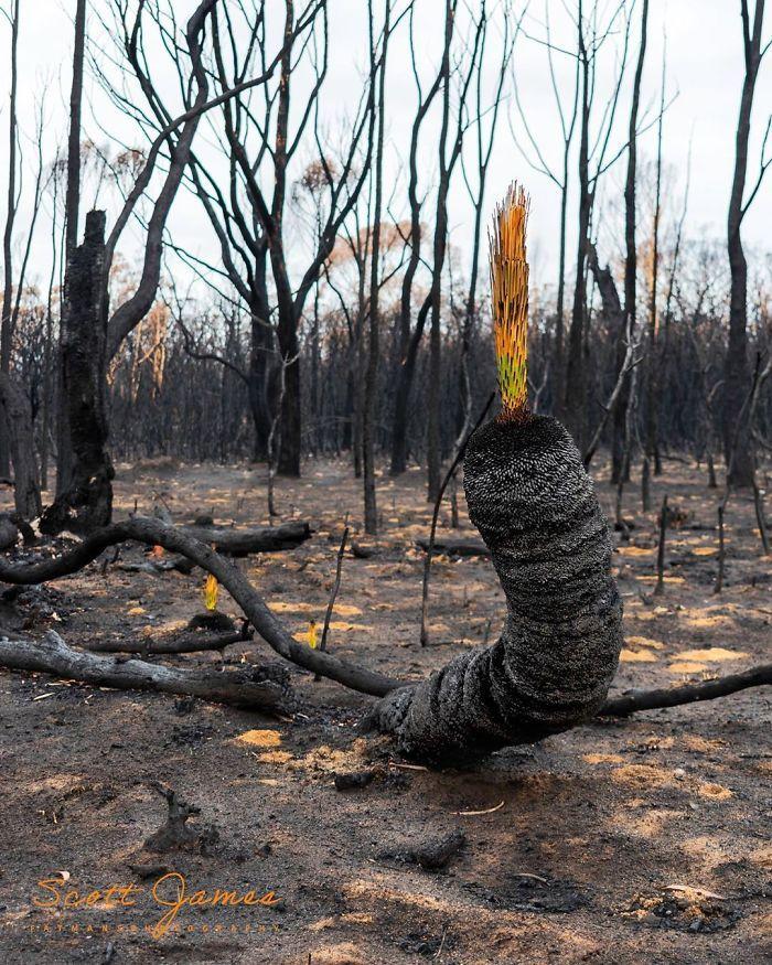 A vida está retornando à terra destruída pelos incêndios na Austrália (35 fotos) 28
