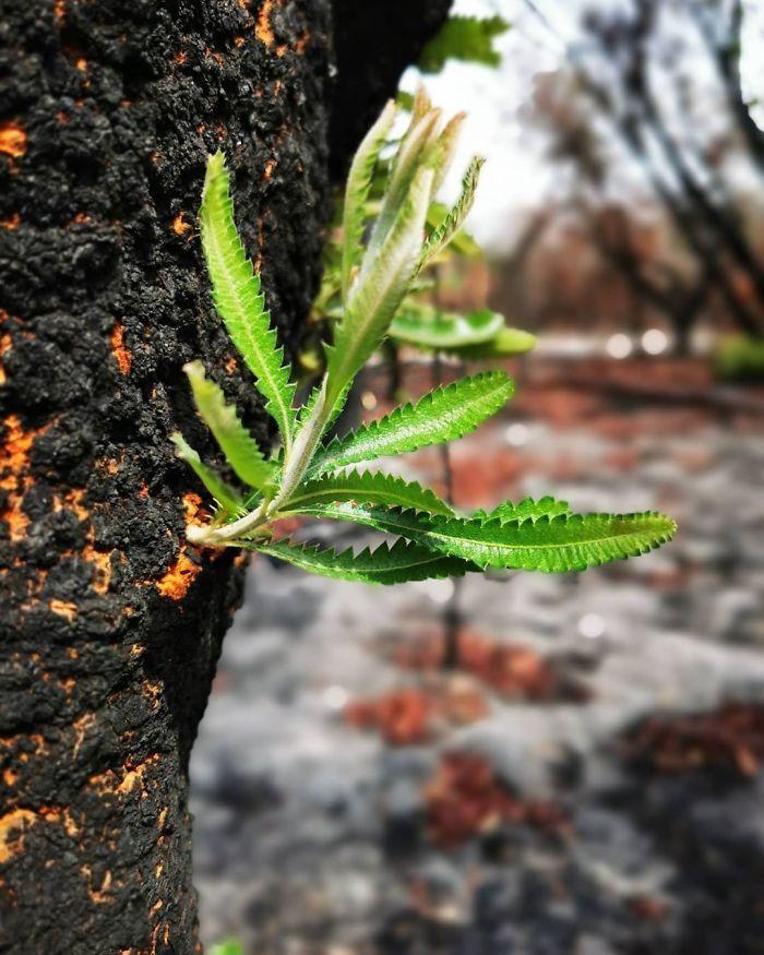 A vida está retornando à terra destruída pelos incêndios na Austrália (35 fotos) 31