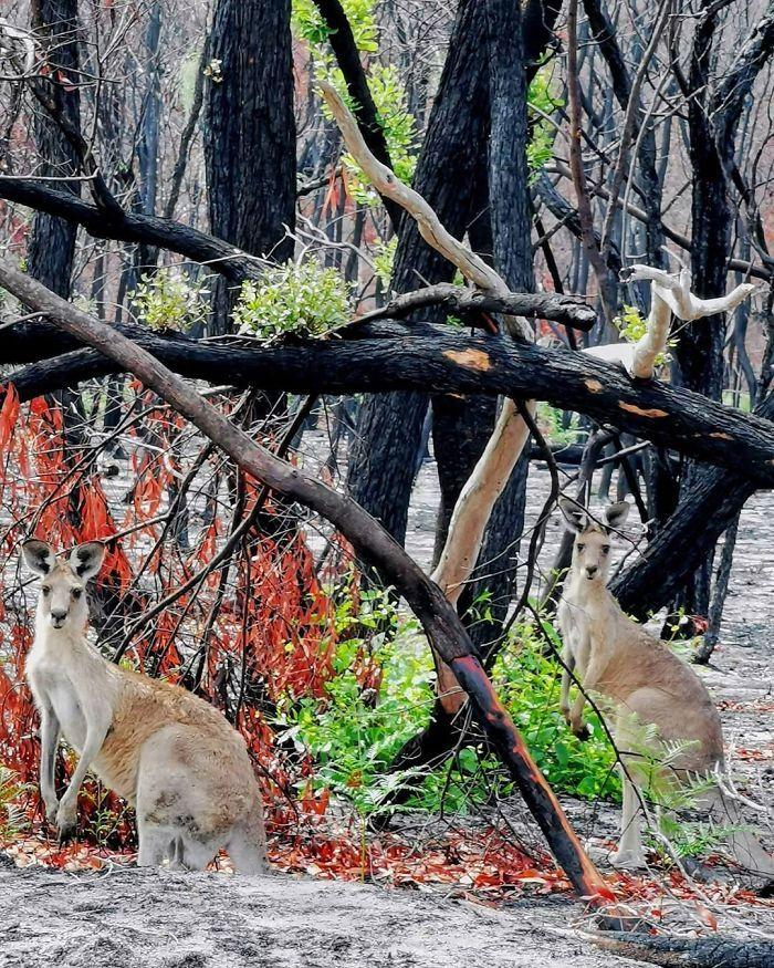 A vida está retornando à terra destruída pelos incêndios na Austrália (35 fotos) 32