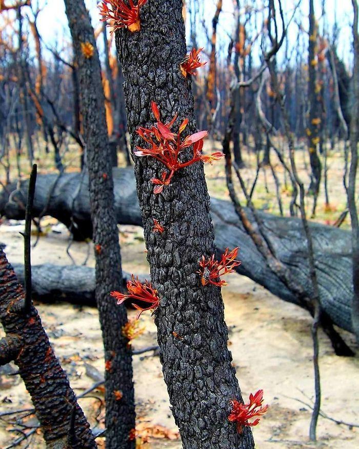 A vida está retornando à terra destruída pelos incêndios na Austrália (35 fotos) 36