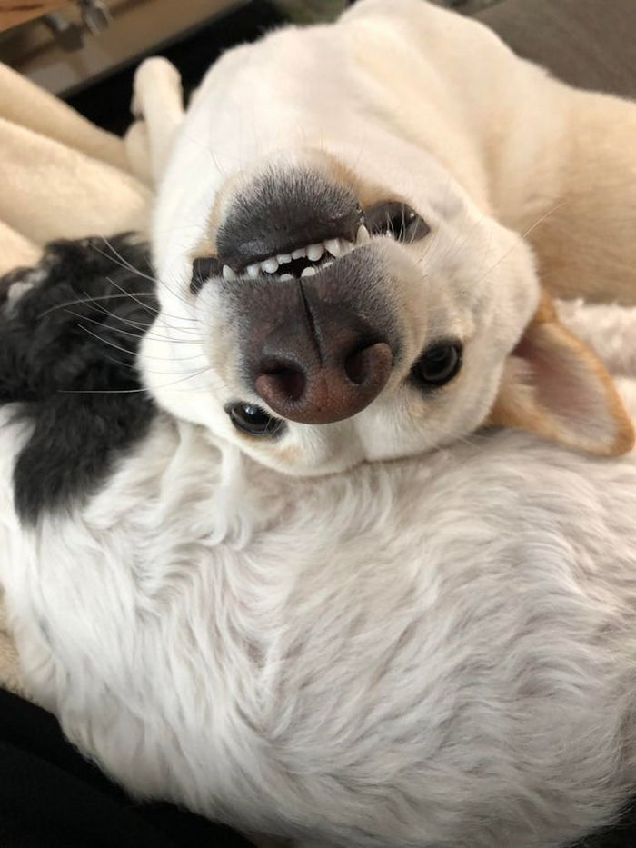 """Há uma comunidade on-line """"Toofers"""" feita para apreciar fotos de adoráveis dentes de cachorro 2"""