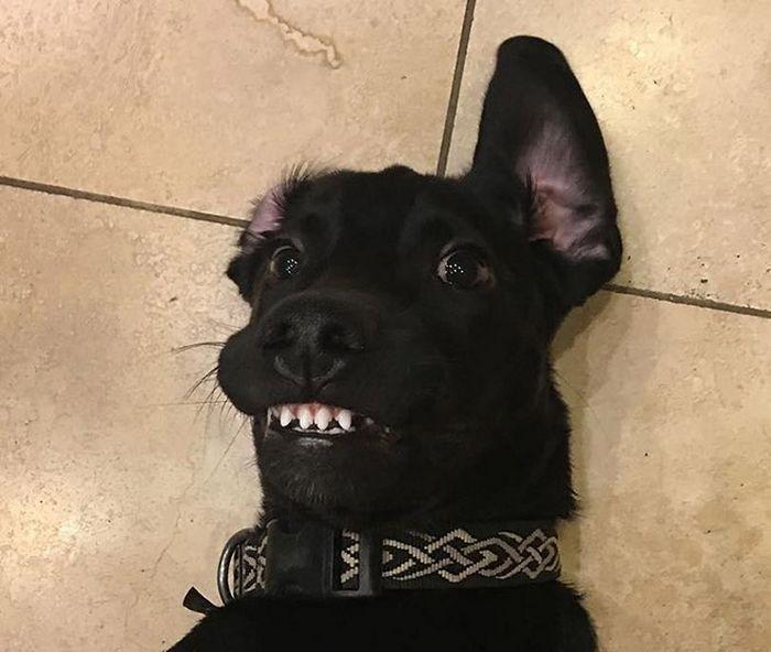 """Há uma comunidade on-line """"Toofers"""" feita para apreciar fotos de adoráveis dentes de cachorro 17"""