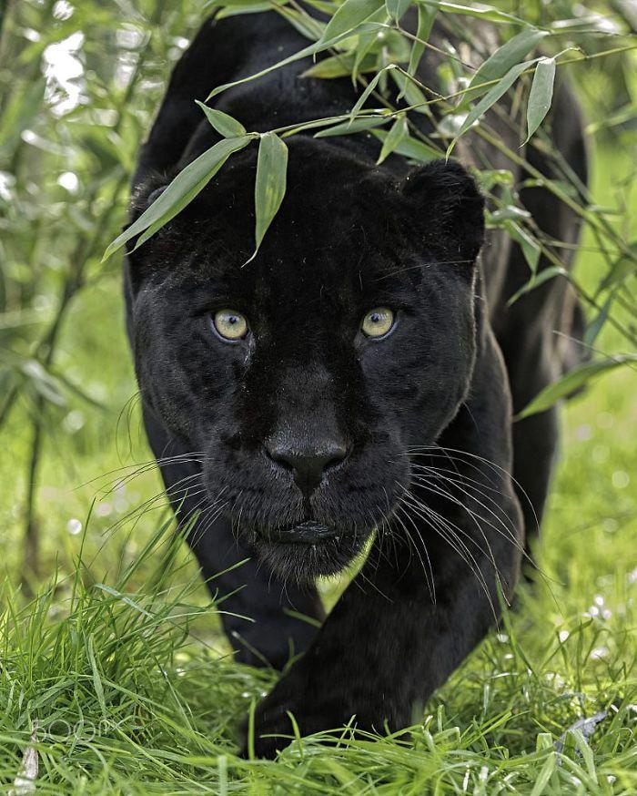 8 fatos que comprova que panteras são apenas gatos gigantes 9