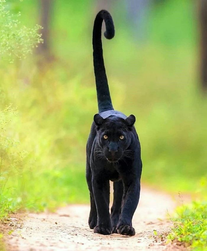 8 fatos que comprova que panteras são apenas gatos gigantes 11