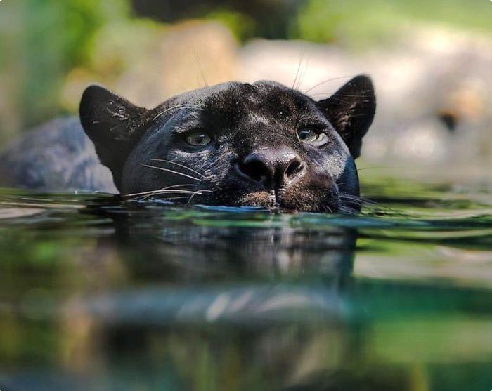 8 fatos que comprova que panteras são apenas gatos gigantes 7