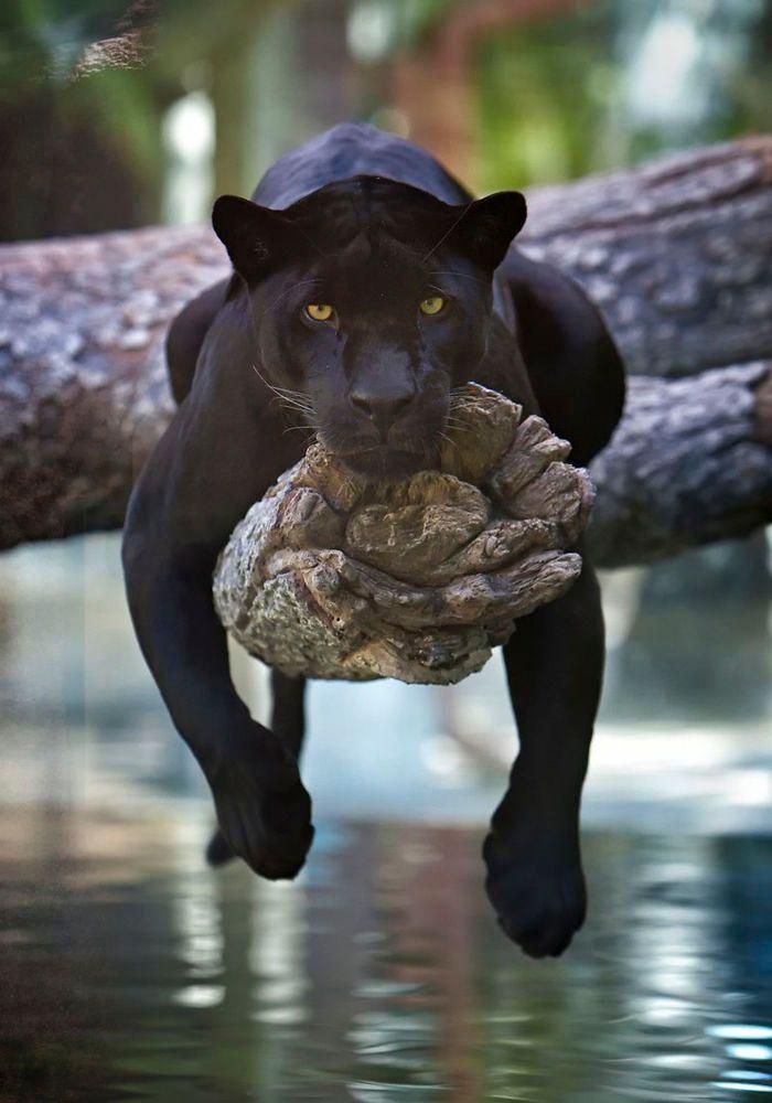 8 fatos que comprova que panteras são apenas gatos gigantes 13