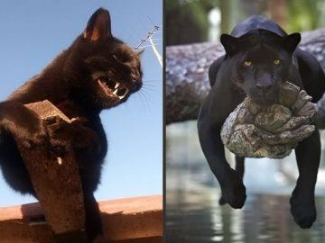 8 fatos que comprova que panteras são apenas gatos gigantes 62