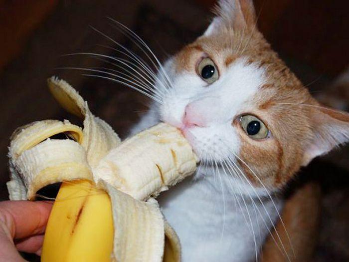 Você sabia que os gatos comem bananas 5