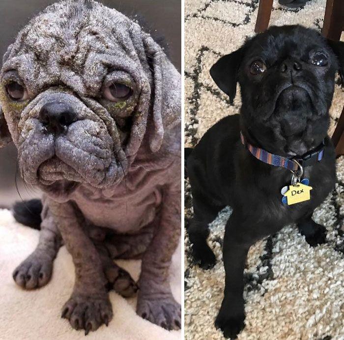 32 fotos de cachorros antes e depois da adoção que derreterão seu coração 25