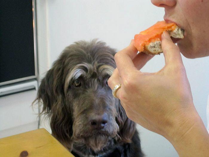 19 fotos que mostram o amor dos cachorros pela comida 9