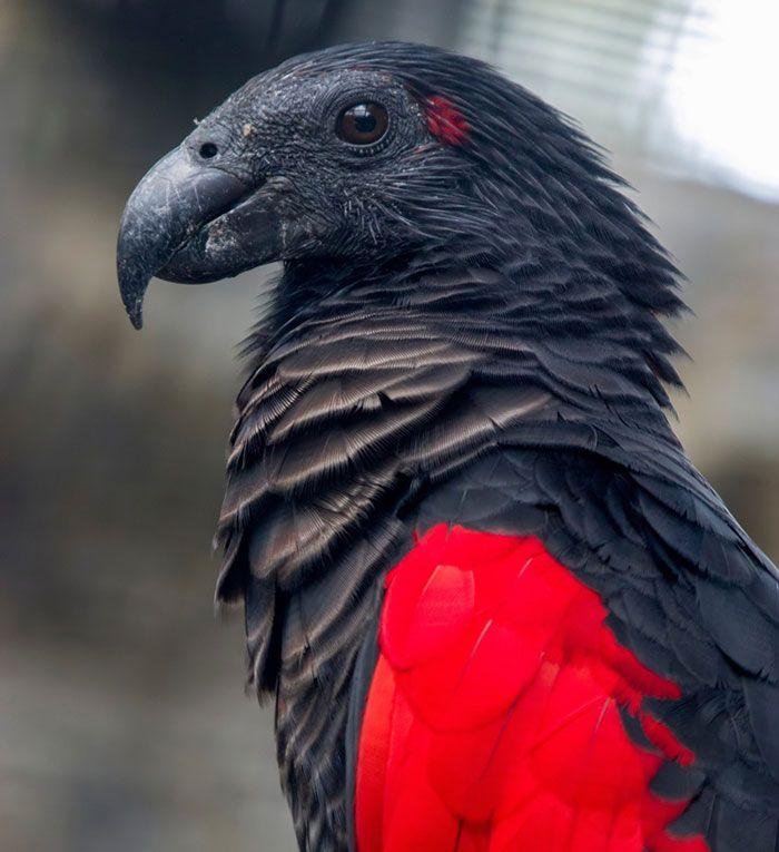 Os papagaio-drácula são perfeito e ainda e podem ser os pássaros mais góticos do mundo 2