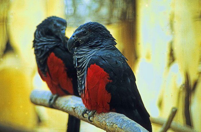 Os papagaio-drácula são perfeito e ainda e podem ser os pássaros mais góticos do mundo 6
