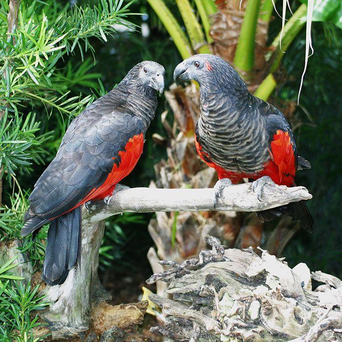 Os papagaio-drácula são perfeito e ainda e podem ser os pássaros mais góticos do mundo 8
