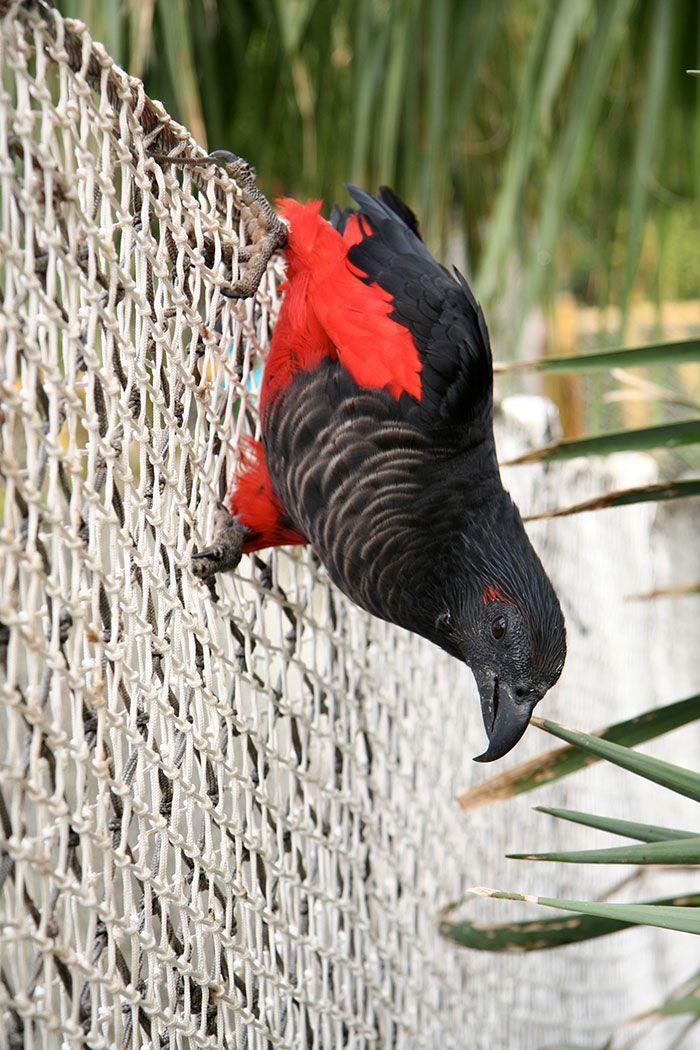 Os papagaio-drácula são perfeito e ainda e podem ser os pássaros mais góticos do mundo 9