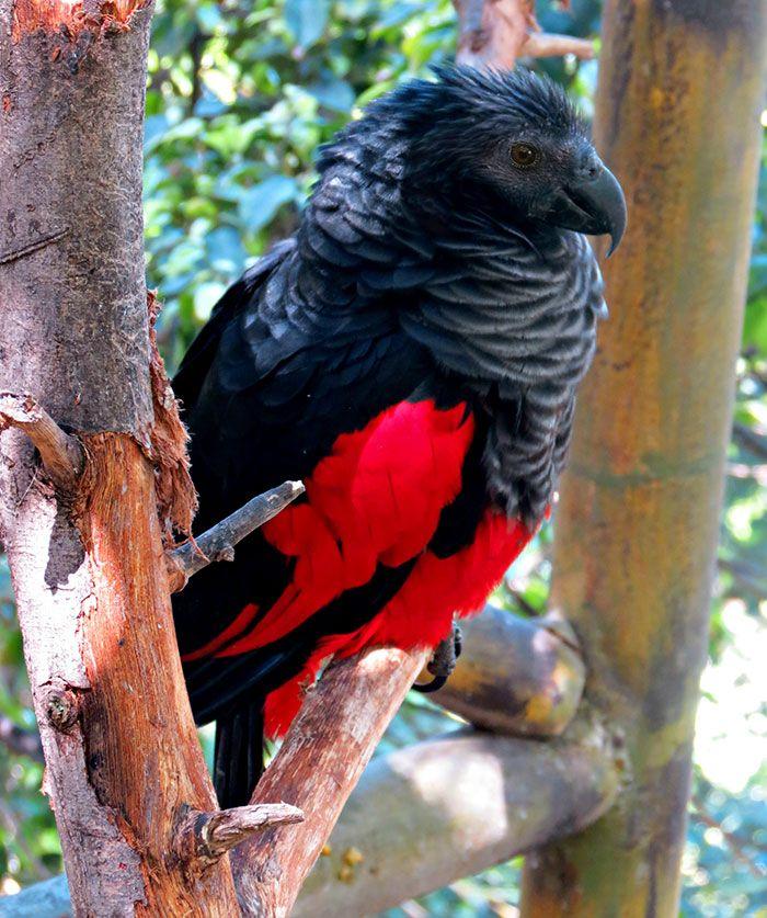 Os papagaio-drácula são perfeito e ainda e podem ser os pássaros mais góticos do mundo 11