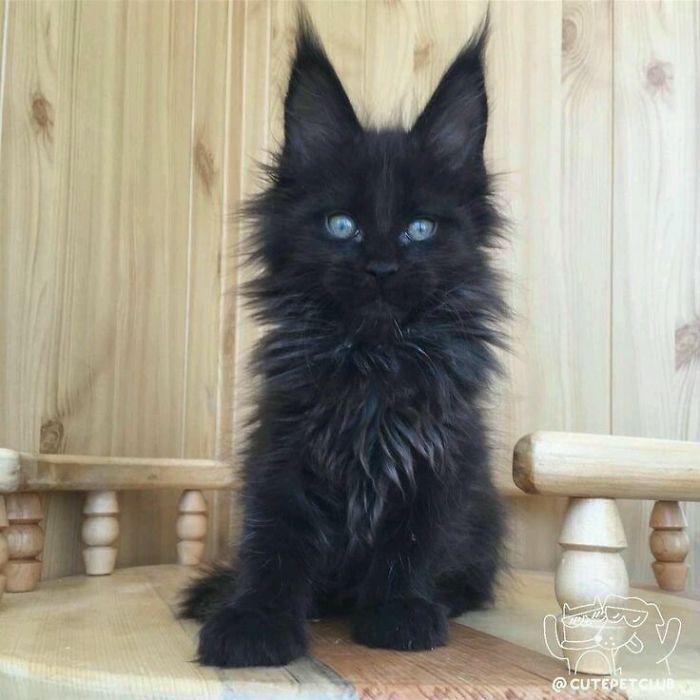 35 adorável gato preto, fotos para mostrar que eles não são má sorte 33