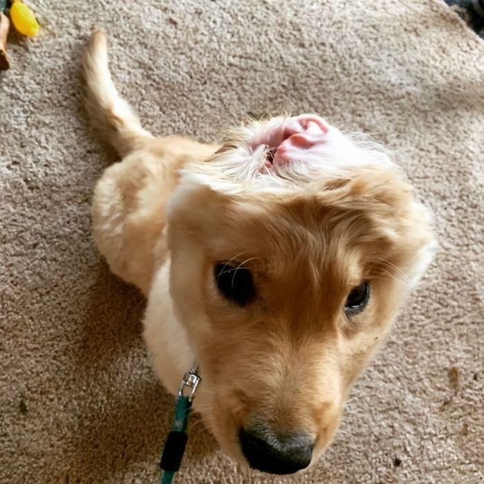 """Conheça Rae, o """"cão unicórnio"""" com uma orelha no meio da cabeça (17 fotos) 10"""