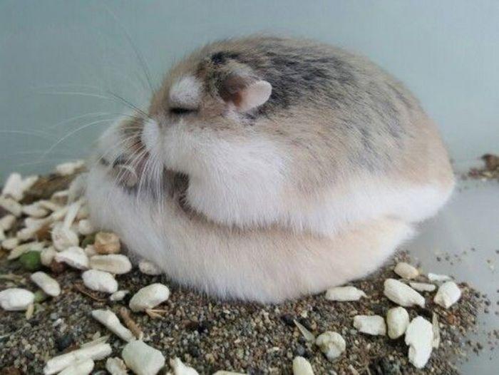 20 panquecas de hamster 10