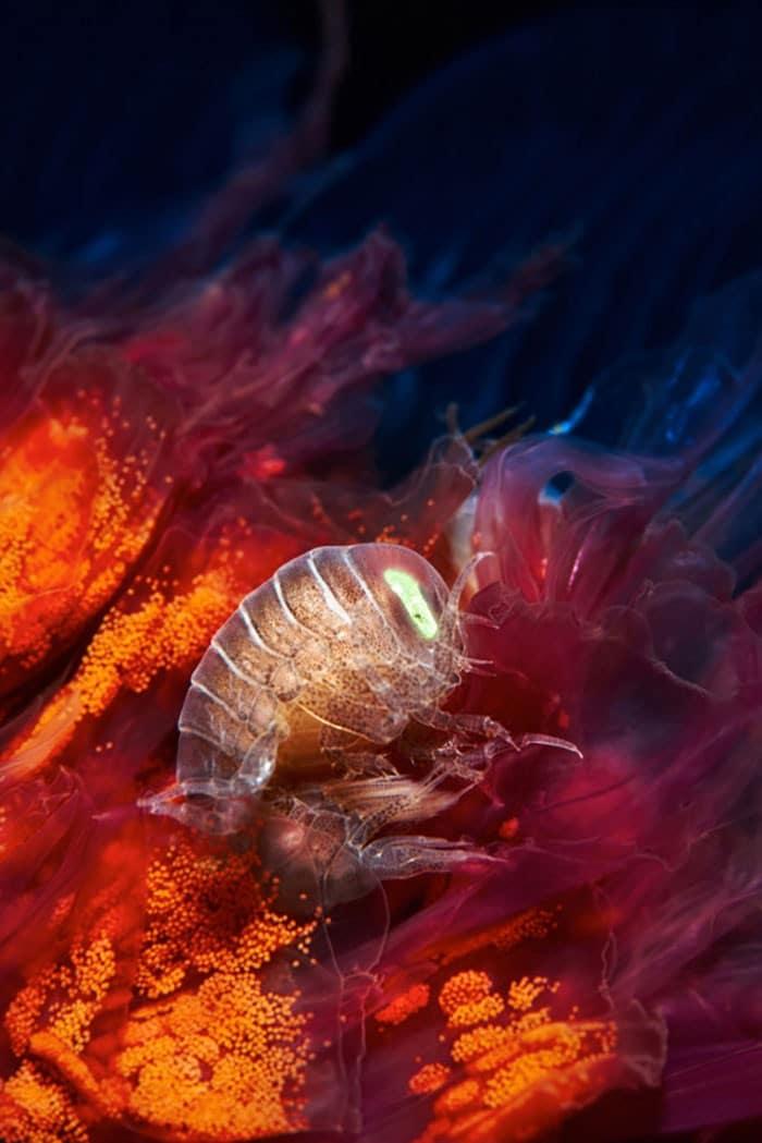 A beleza alienígena das criaturas subaquáticas em fotos de Alexander Semenov (40 fotos) 5