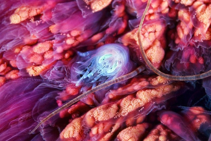 A beleza alienígena das criaturas subaquáticas em fotos de Alexander Semenov (40 fotos) 6
