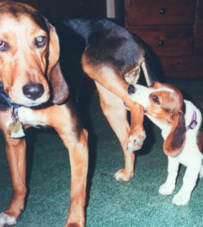 35 cães que tiveram suas vidas arruinadas depois que ganharam um Irmão mais novo 5