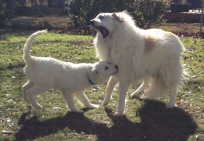 35 cães que tiveram suas vidas arruinadas depois que ganharam um Irmão mais novo 11