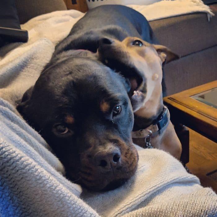 35 cães que tiveram suas vidas arruinadas depois que ganharam um Irmão mais novo 18
