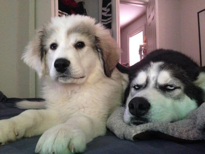 35 cães que tiveram suas vidas arruinadas depois que ganharam um Irmão mais novo 19