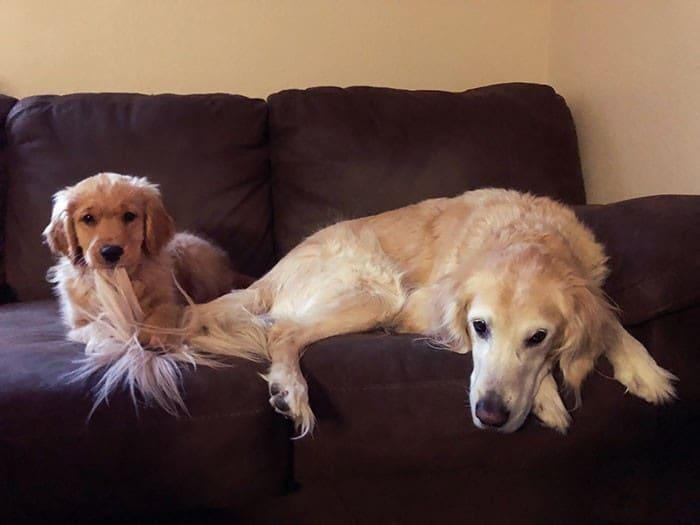 35 cães que tiveram suas vidas arruinadas depois que ganharam um Irmão mais novo 35