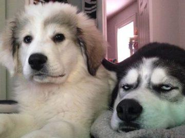 35 cães que tiveram suas vidas arruinadas depois que ganharam um Irmão mais novo 3