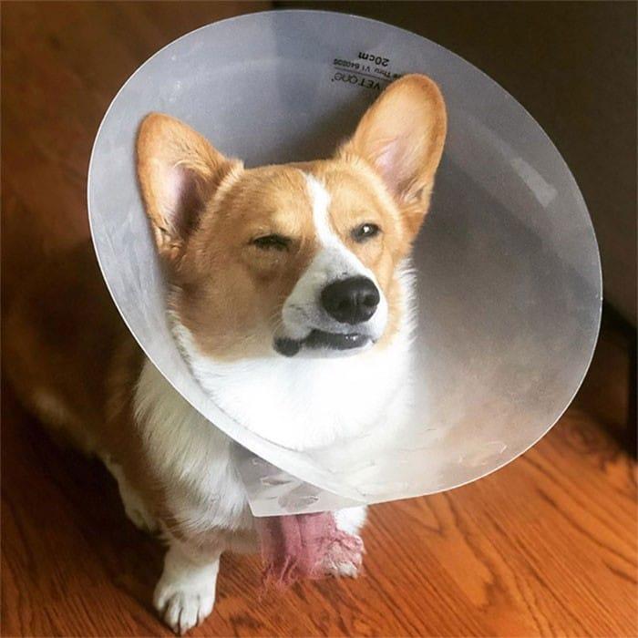 35 fotos engraçadas de animais de estimação usando cone 3