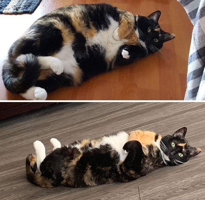 37 impressionantes transformações de perda de peso de gato 7
