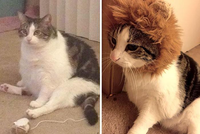 37 impressionantes transformações de perda de peso de gato 8