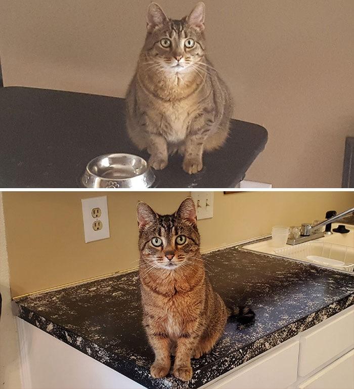 37 impressionantes transformações de perda de peso de gato 9