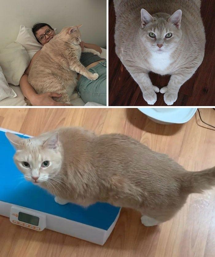 37 impressionantes transformações de perda de peso de gato 26