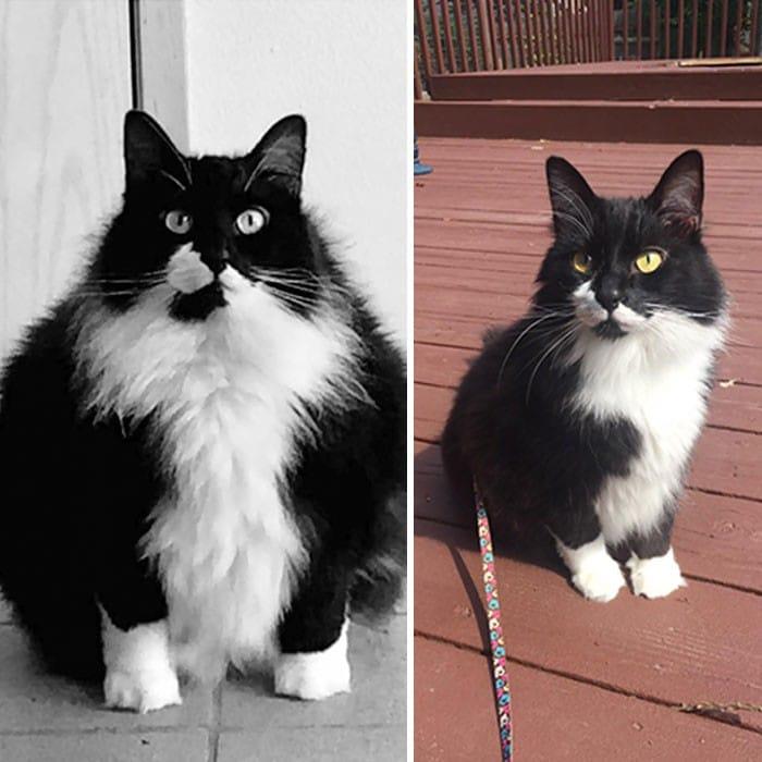 37 impressionantes transformações de perda de peso de gato 36