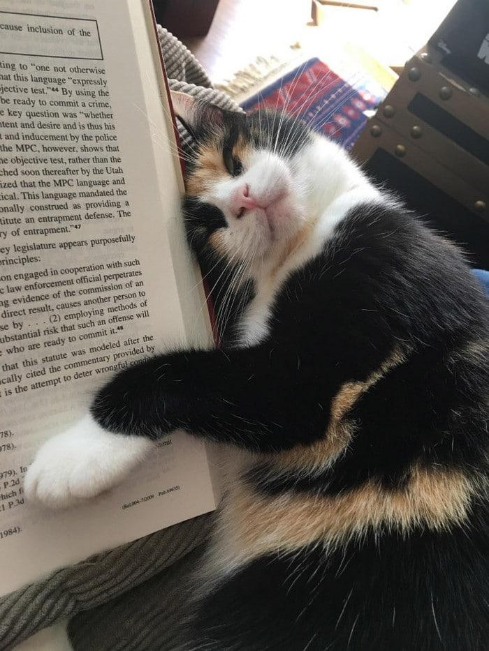 Quando os donos de gatos tentam ler (22 fotos) 12