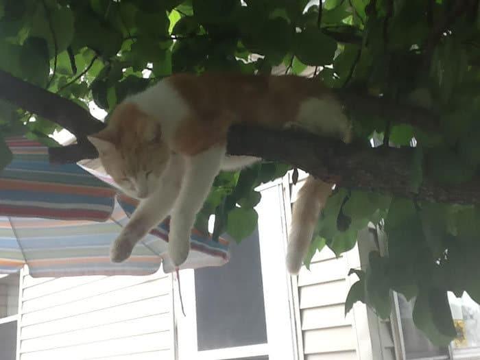 34 gatos que dominam a arte de dormir nas árvores 24