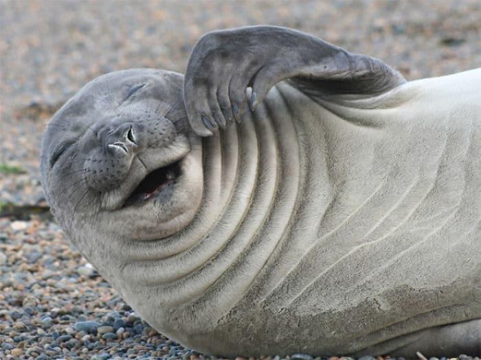 30 fotos divertidas de focas que não conseguem conter o riso 2
