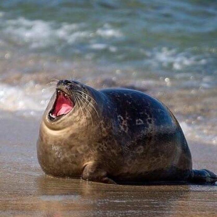 30 fotos divertidas de focas que não conseguem conter o riso 6