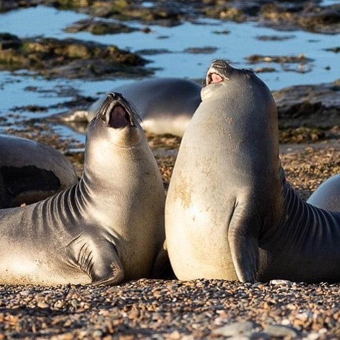 30 fotos divertidas de focas que não conseguem conter o riso 9