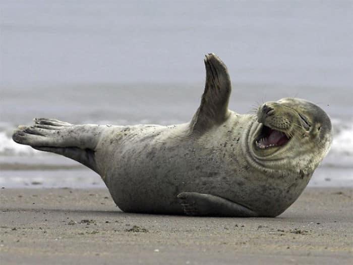 30 fotos divertidas de focas que não conseguem conter o riso 13