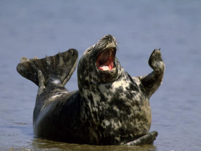 30 fotos divertidas de focas que não conseguem conter o riso 15
