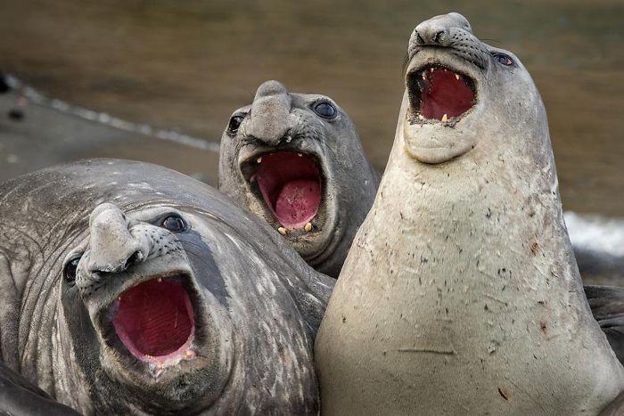 30 fotos divertidas de focas que não conseguem conter o riso 16