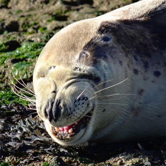 30 fotos divertidas de focas que não conseguem conter o riso 19