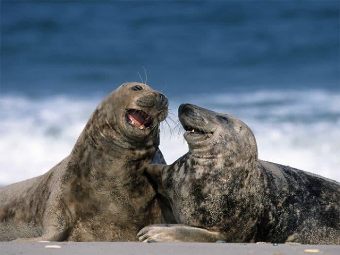 30 fotos divertidas de focas que não conseguem conter o riso 21