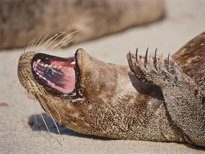30 fotos divertidas de focas que não conseguem conter o riso 22